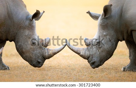 stock photo white rhinoceros ceratotherium simum head to head kruger national park south africa 301723400 - Каталог — Фотообои «Животные»