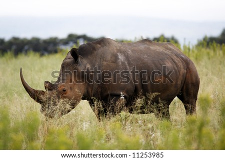 white rhinoceros ceratotherium simum simum on the plain of entabeni game reserve welgevonden waterberg limpopo province south africa