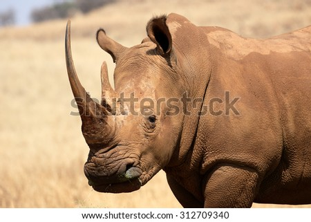 White rhinoceros, Diceros simus, single mammal head shot, South Africa, August 2015