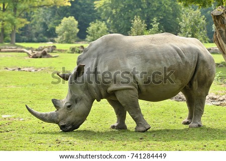 White rhinoceros in the beautiful nature looking habitat. Wild animals in captivity. Prehistoric and endangered species in zoo.
