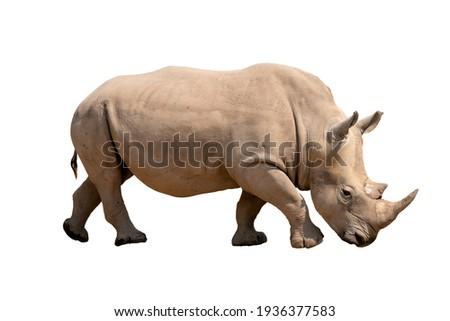 white rhinoceros isolated on white background Сток-фото ©