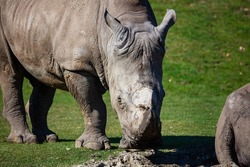 White rhinoceros. Mammal and mammals. Land world and fauna. Wildlife and zoology. Nature and animal photography.