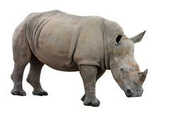 White Rhinoceros or Square-lipped rhinoceros - Ceratotherium simum on a white background