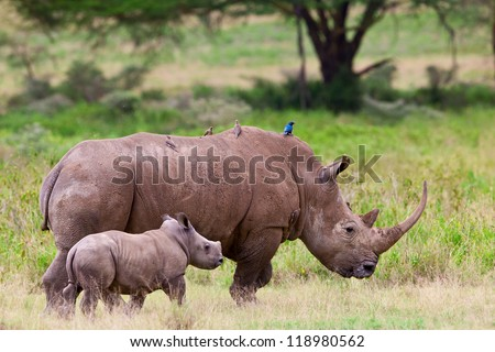 White rhinoceros or square-lipped rhinoceros (Ceratotherium simum) with her baby in Lake Nakuru National Park, Kenya. The white rhinoceros is one of the five species of rhinoceros that still exist.