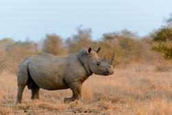 White rhinoceros or square-lipped rhinoceros or rhino (Ceratotherium simum). Limpopo Province. South Africa