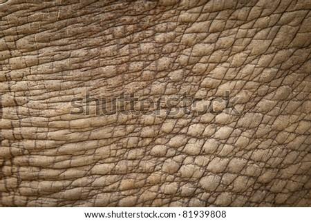 white rhinoceros skin from alive body