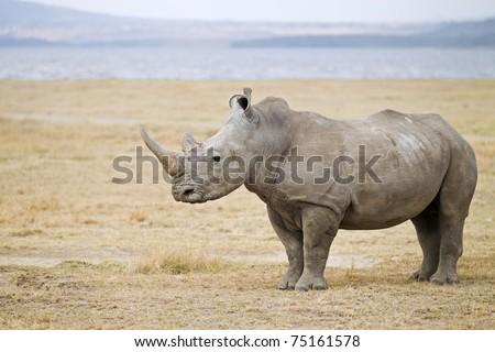 White Rhinoceros standing infront of the lake nakuru