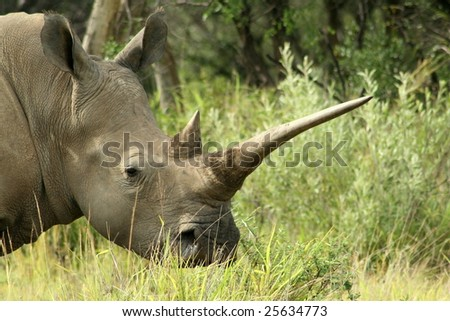 White rhinoceros with long horn