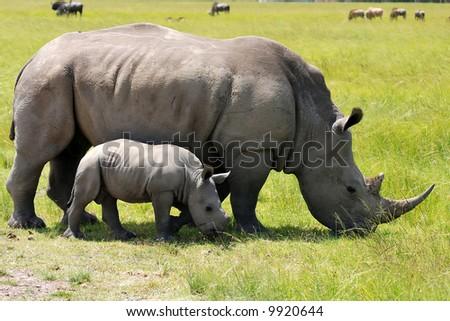 white rhinoceros with 3 weeks calf