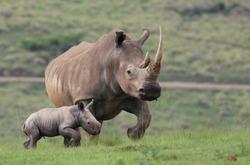 White Rhinorunning wild in  South Africa