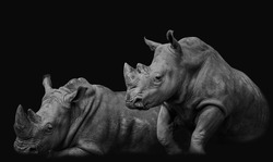 White rhinos in the African savanna. Image treated in low key and in black and white.
