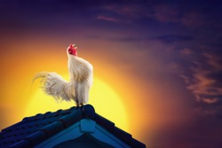 White rooster chicken cock crowing on roof and beautiful sunrise sky with early morning concept