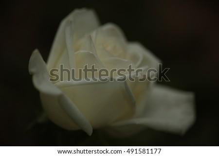 White Rose #491581177