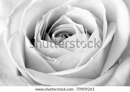 White rose, black and white macro