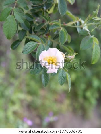 White rose brier,  rose haw, morning light Stock photo ©