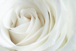 White rose close-up can use as background.  Soft and dreamy