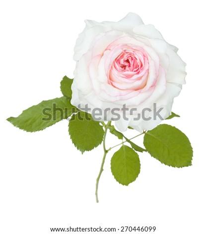 White rose closeup isolated on white background