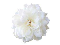 White rose flowers isolated on white background