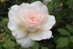 White rose in a flower garden in Golden Gate park. John F Kennedy Dr, San Francisco, CA 94117