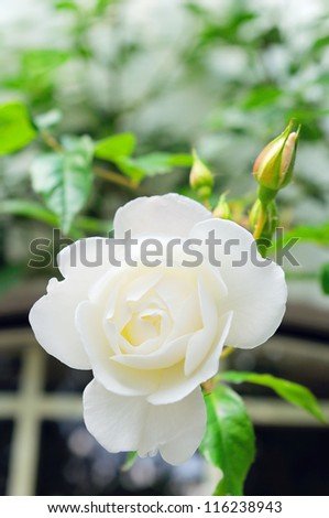 white rose in garden