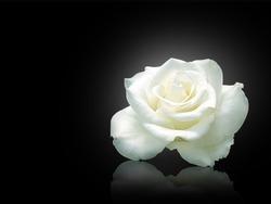 White rose isolated on black background.