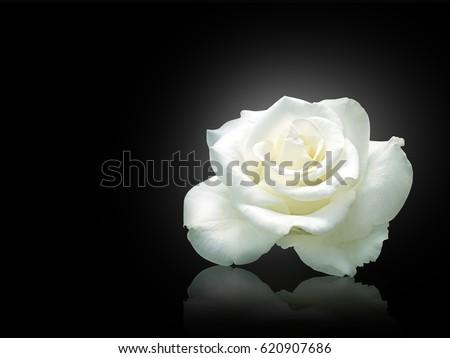 White rose isolated on black background. #620907686