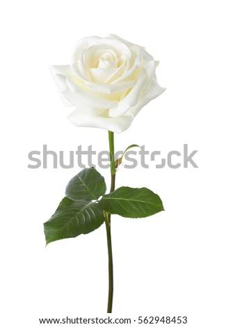 White rose isolated on white background. #562948453