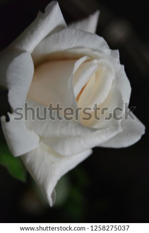 white rose night rosebud #1258275037