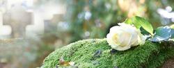 white rose on grave on cemetery, banner