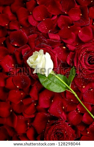 White Rose on Red Rose Petals. Valentine's Day Theme. Roses Background. Flowers Photo Collection.