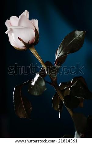 White rose on the dark blue background. Narrow depth of field.