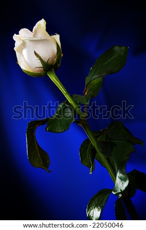 White rose on the dark blue background. Narrow depth of field.