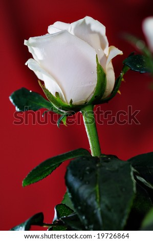 White rose on the red background. Narrow depth of field.
