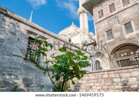 White rose plant with Sultan Ahmed Mosque landmark at the background. Religious symbol of religious purity #1469459573