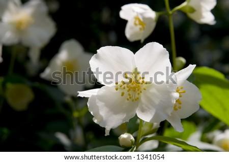 single white rose wallpaper. white-rose-wallpaper.jpg Black