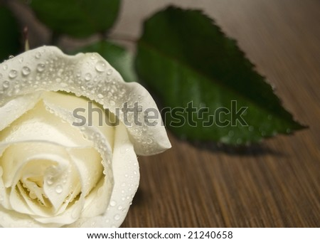 white rose with dew on wooden table