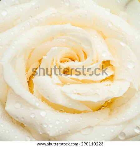white rose with drops on the petals and buds after the rain