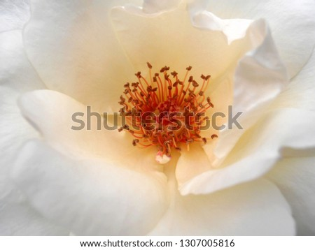 White Rose with stamens
