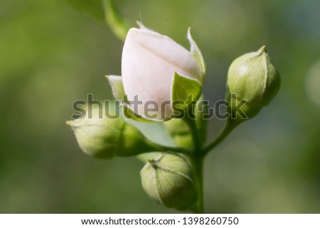 White rosebud in the park- Closeup photograph of a delicate White rosebud the park. #1398260750