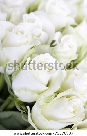 White roses  background with soft focus