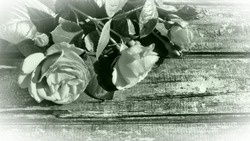White roses on a wooden table. Stylized postcard in gray - green monochrome. Congratulations or expressions of regret. Copy space. Light vignetting around the edges. Roses on wooden background