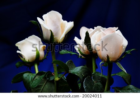 White roses on the blue background. Narrow depth of field.