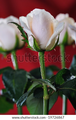 White roses on the red background. Narrow depth of field.