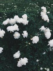 White Roses Springbreak