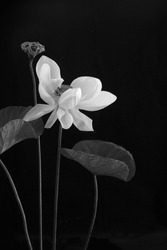 White Royal Lotus and pods with green leaf on black background / Still life selective focus, adjustment color black and white and Space for message