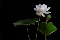 White Royal lotus blooming in the swamp with green leafs on black background,  Choose focus and Space for message,