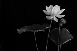 White Royal lotus blooming in the swamp with green leafs on black background,  Choose focus and Space for message,  and adjustment color black and white for background