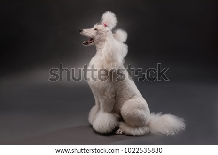 white royal poodle