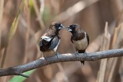 White-rumped munia bird facing each other.Two birds talking