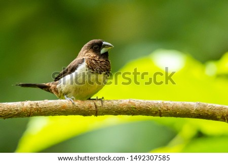 White-rumped Munia perching on a perch looking into a distance